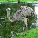 Южноамериканские страусы нанду. Описание вида