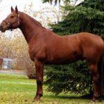 Тракененская порода лошадей - история и наши дни