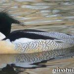 Крохаль — утка с хохолком. Описание большого крохаля, блюда из утки