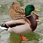 Утка кряква: особенности строения, среда обитания