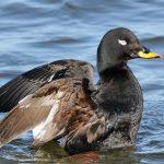 Турпан - горбоносая грустная утка и её особенности