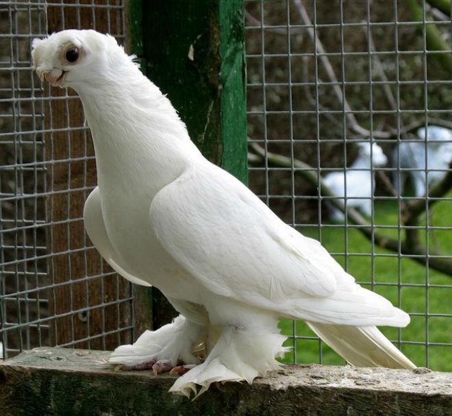 оригинальный фото голубей всех пород девушек