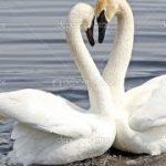 Лебедь: его виды, перелётная это птица или нет?