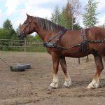 """Описание породы лошадей """"владимирский тяжеловоз"""""""