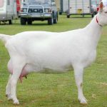 Описание породы зааненские козы