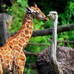 Самое высокое животное в мире — жираф. Самая высокая птица — страус