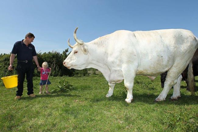 8 пород самых больших быков в мире