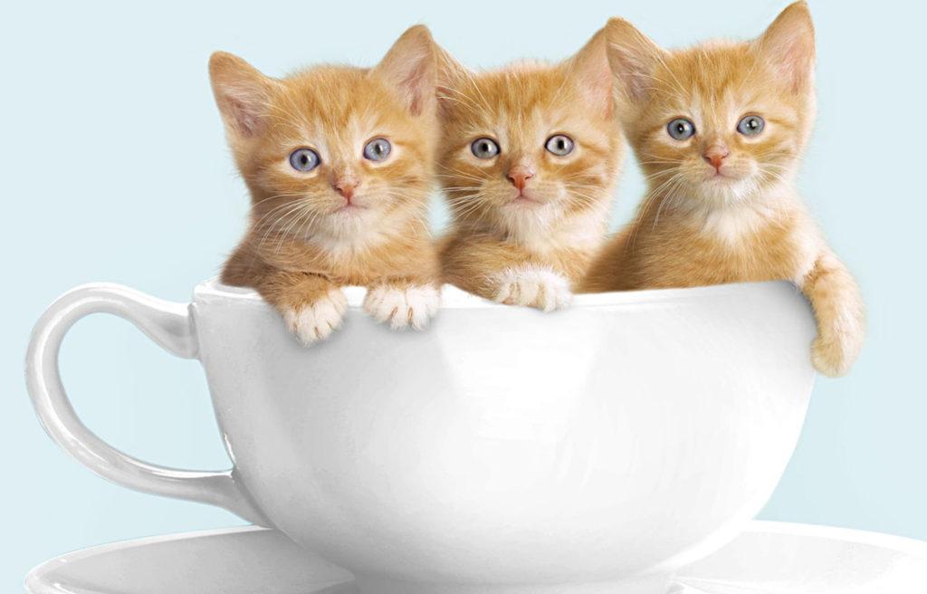 Кого лучше выбрать: кота или кошку?