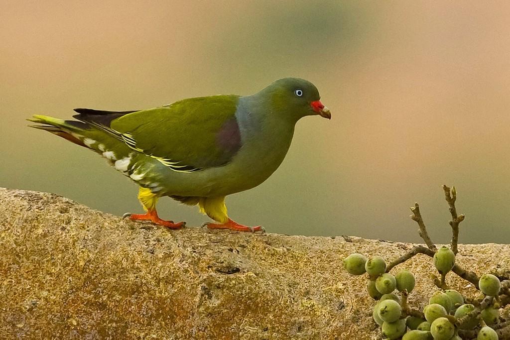 Японский зелёный голубь