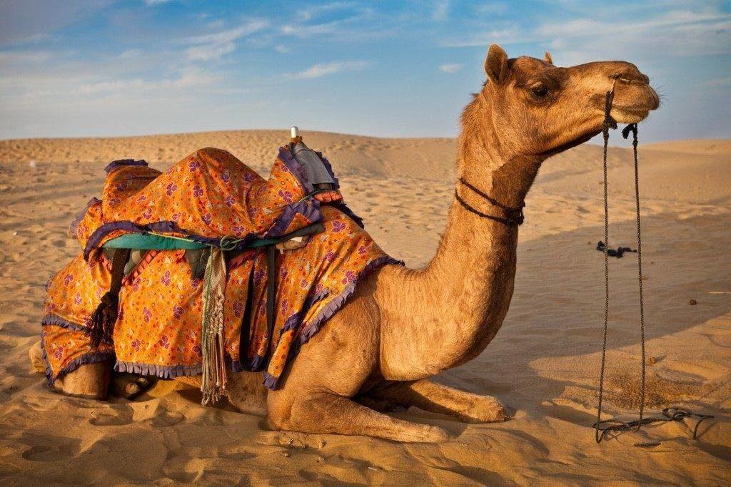 У верблюда в горбах вода: так ли это на самом деле?