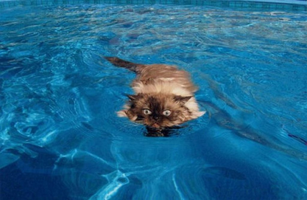 Умеют ли кошки плавать или нет? Почему они так боятся воды?