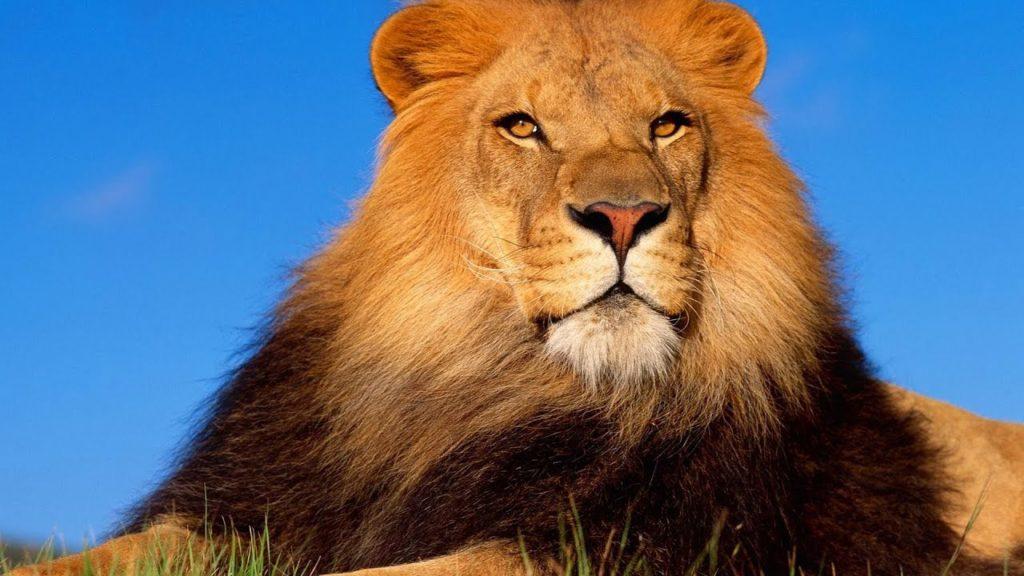 32 интересных факта о львах - секреты грозных хищников