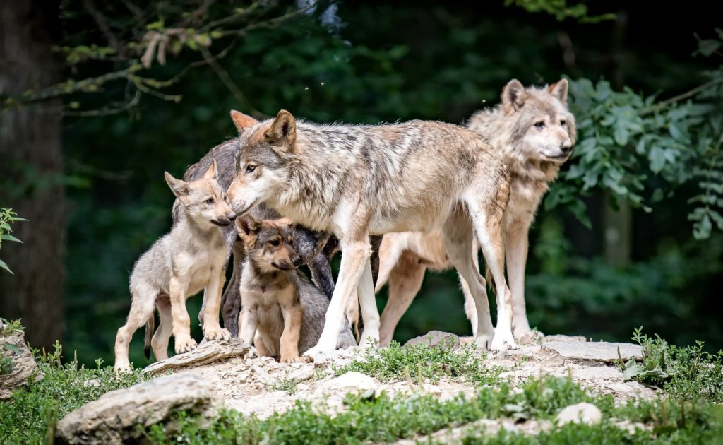 Как звери учат своих детенышей охотиться?