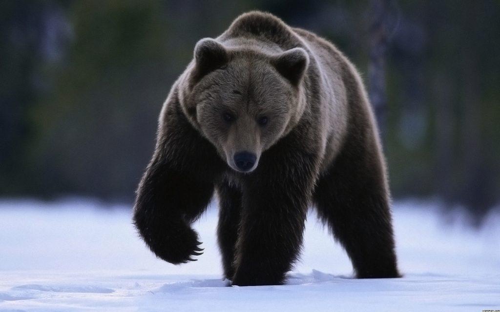 12 опасных животных, которые обитаю в России