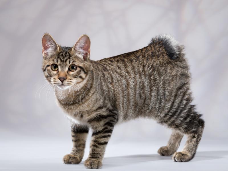 Боевой кот - порода Курильский бобтейл