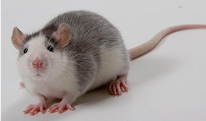 5 интересных фактов о домашних крысах питомцах