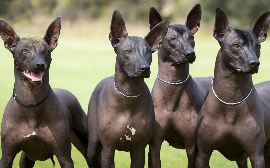 Топ самых некрасивых пород собак