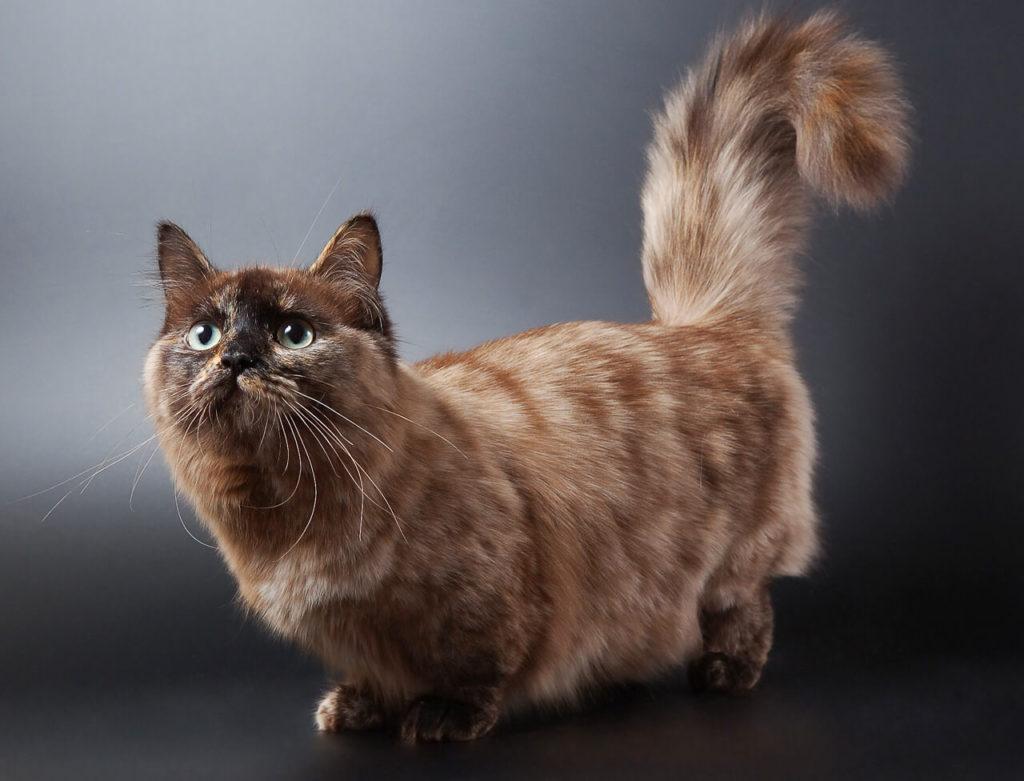 Топ - 5 Самых умных пород кошек
