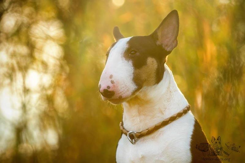 Бультерьер - собака с огромной силой духа