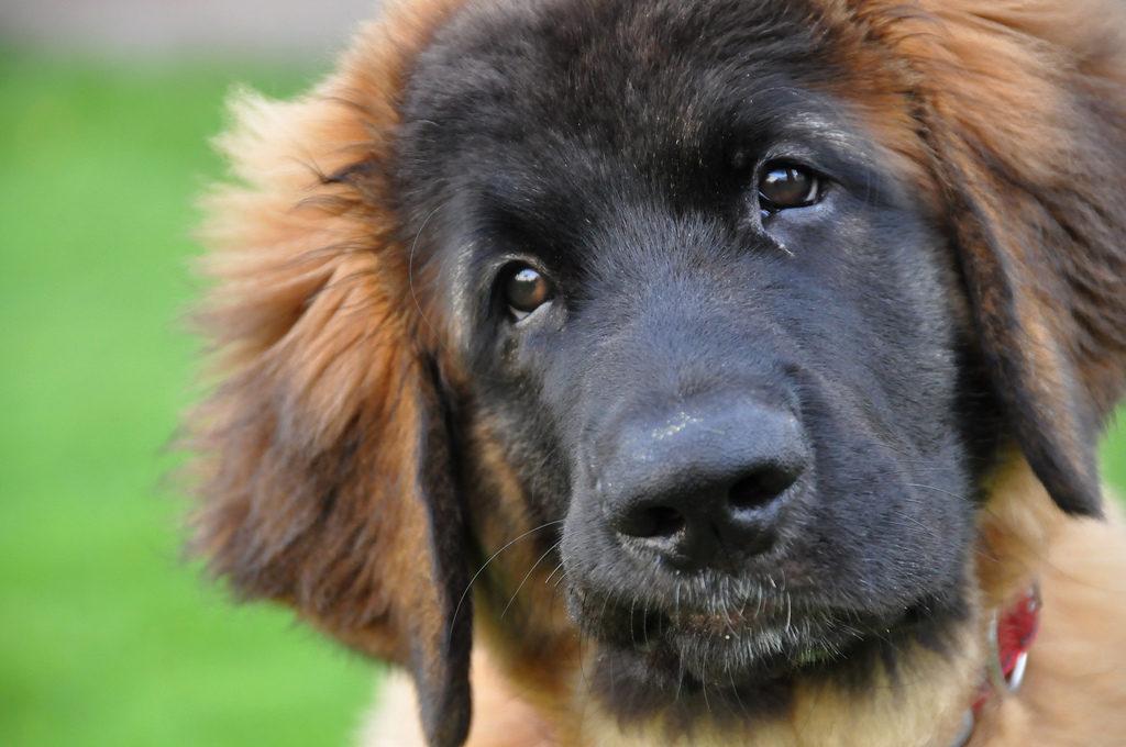 10 пород собак метисов о которых мало кому известно