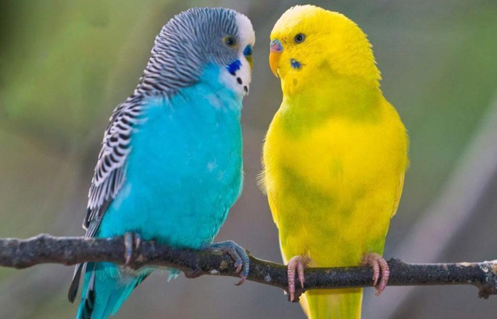 Как научить попугая говорить [основные принципы и факторы]