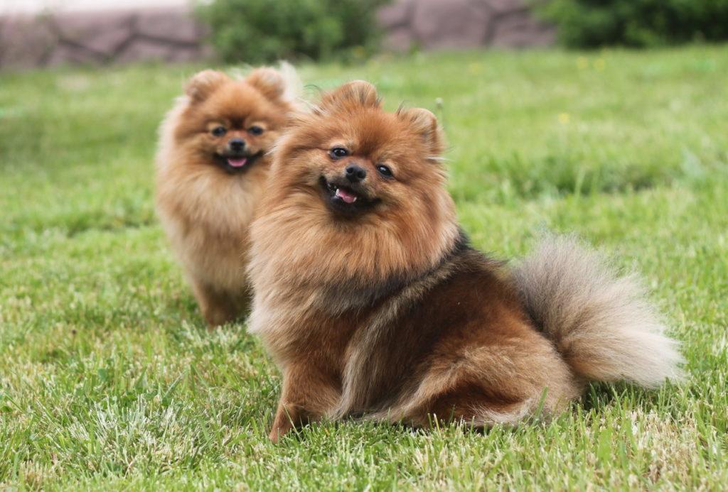 9 самых дорогих пород собак