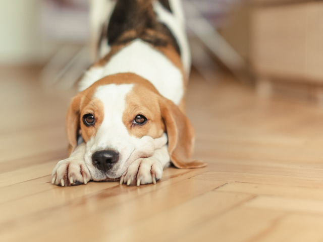 https://img3.goodfon.ru/original/640x480/2/da/bigl-sobaka-schenok-beagle-dog.jpg