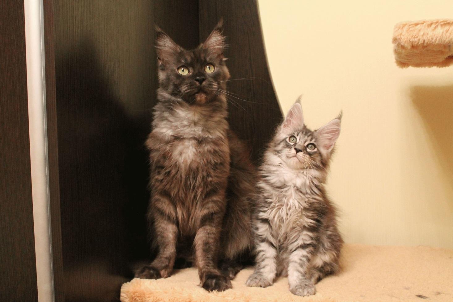 https://murlo.org/ru/wp-content/uploads/2014/09/Кошки-Мейн-кун-фото.jpg
