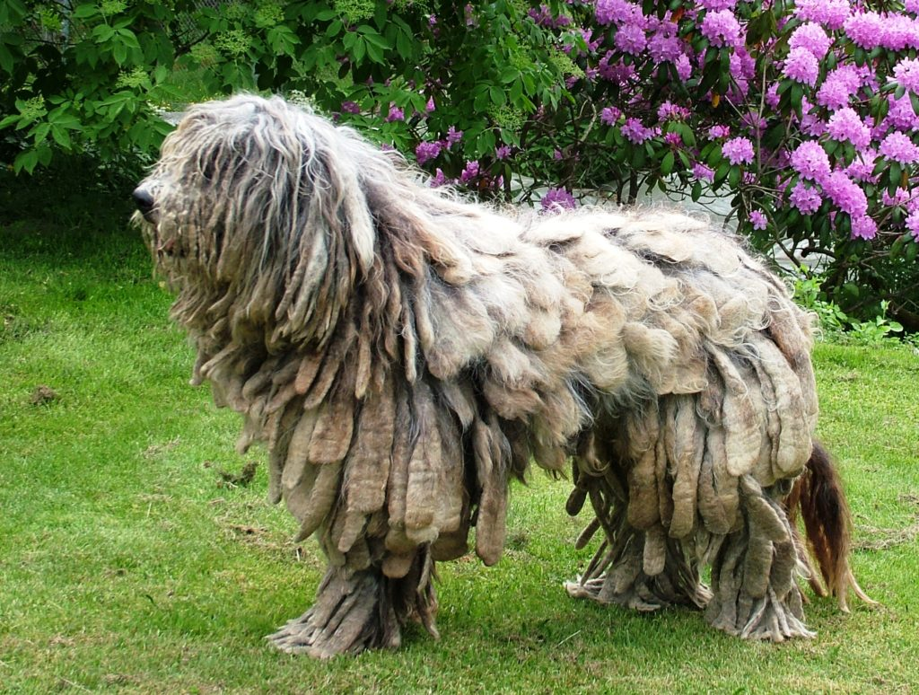 Топ-5 довольно необычных пород собак