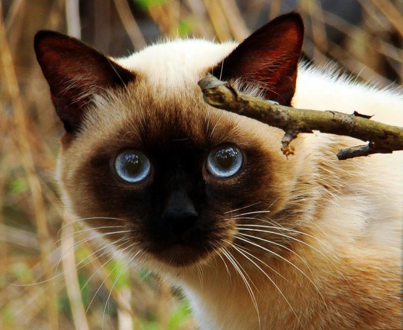 отношении картинки кошек красивые сиамские кошки решил