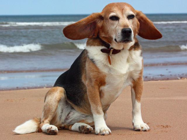 https://www.zastavki.com/pictures/640x480/2013/Animals___Dogs_Adult_funny_dog___beagle_near_the_sea_049968_29.jpg