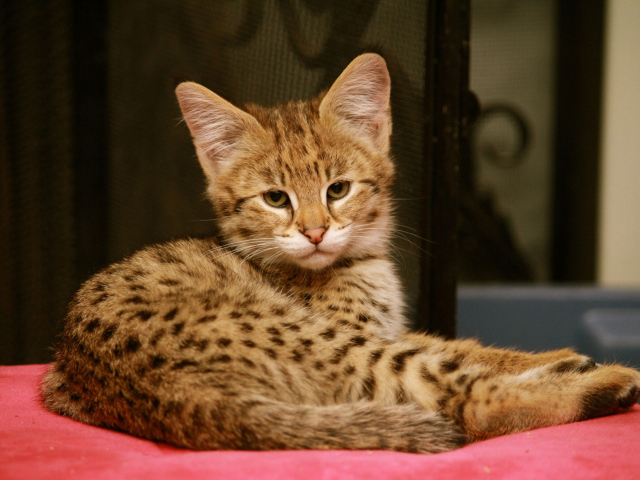Топ 5 самых дорогих пород кошек