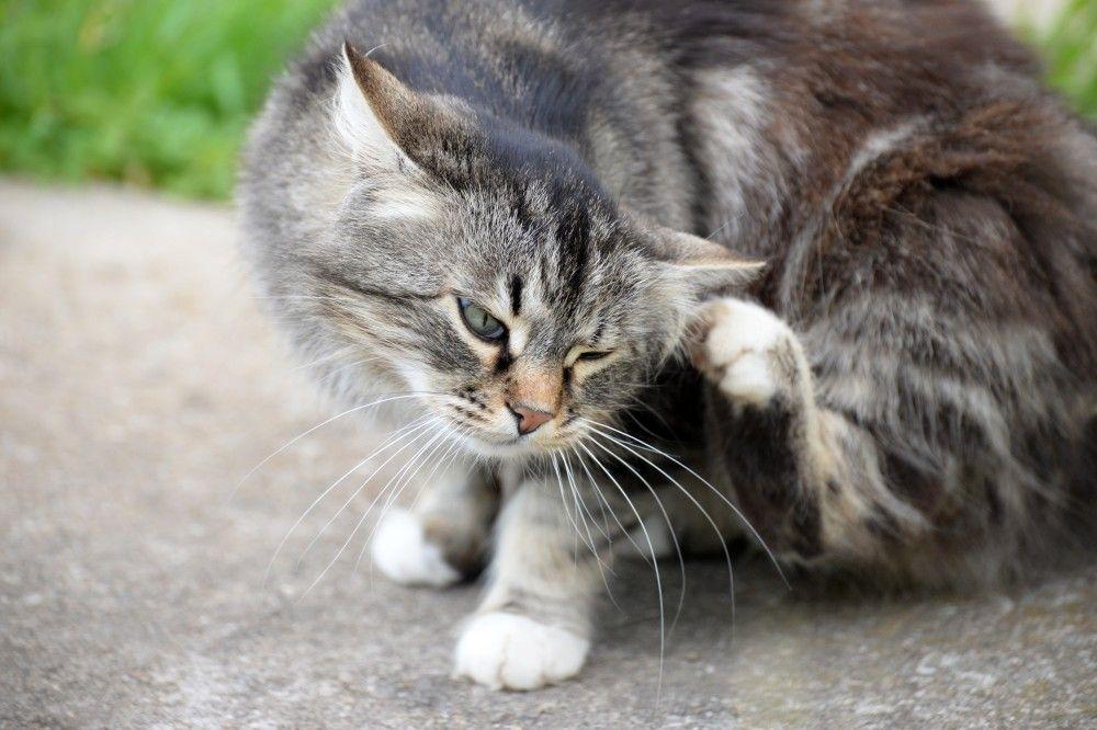Почему кошка трясет головой и постоянно чешет ухо