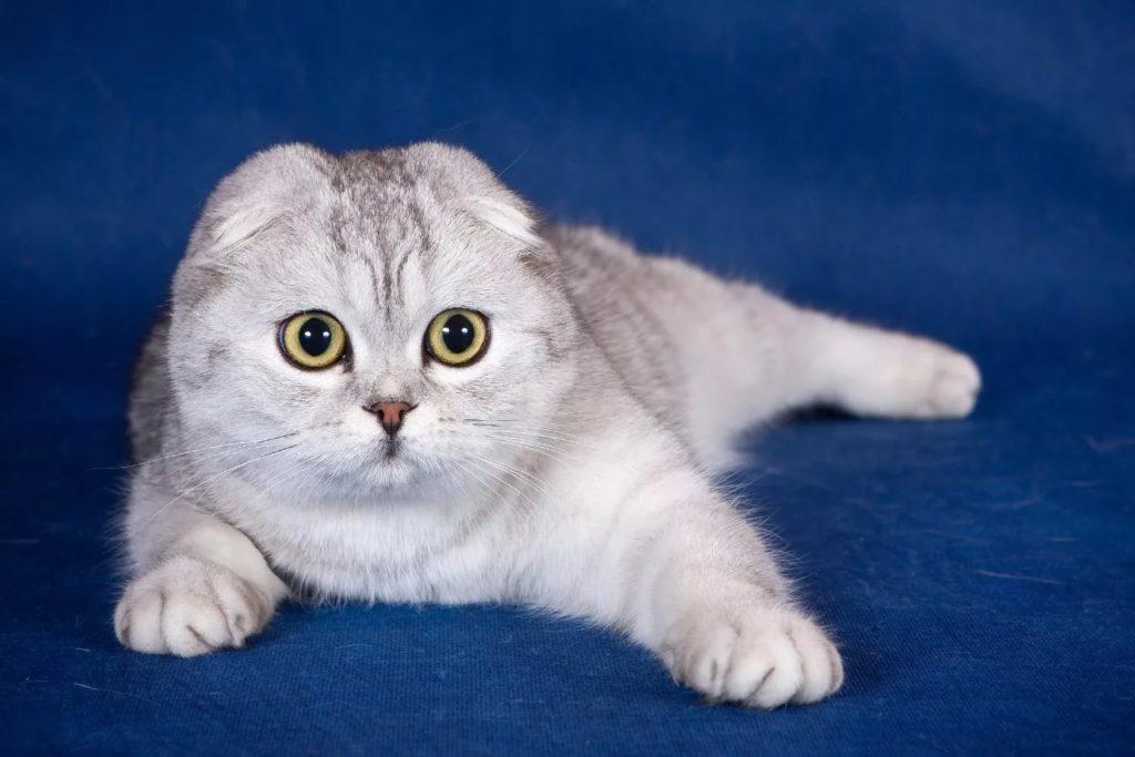 5 пород кошек, которые обладают самым агрессивным характером