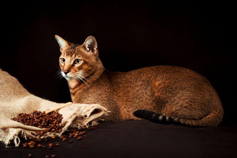 5 самых больших пород кошек