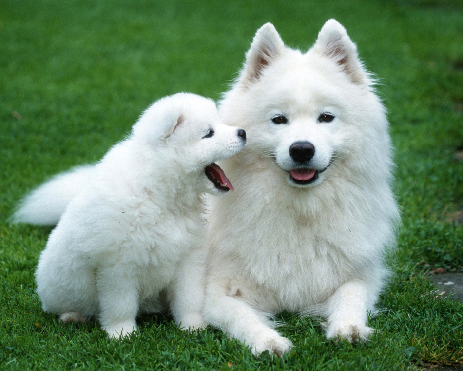 ТОП 5 Самых пушистых пород собак