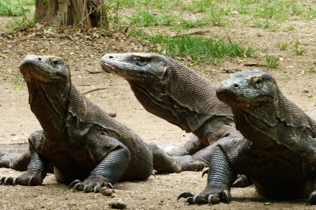 Драконы Комодо - древние вараны