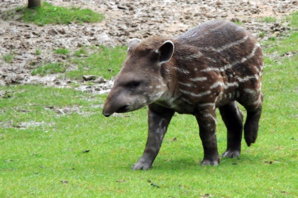 Тапир: прикольная хрюшка с хоботом