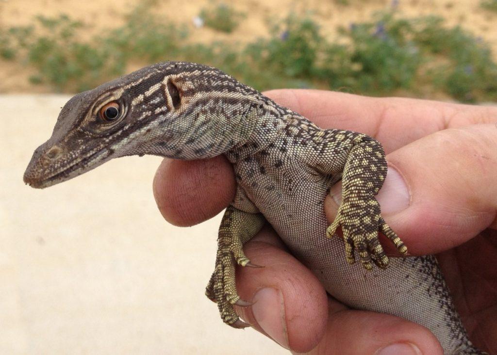 Необычный сосед австралийских туристов: песчаный варан