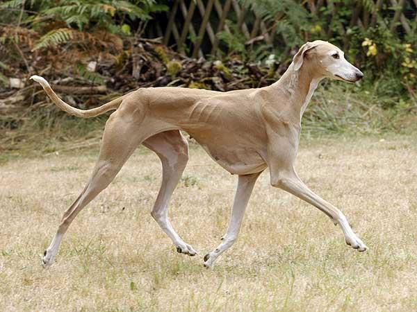 Топ самых быстрых представителей собачьего рода