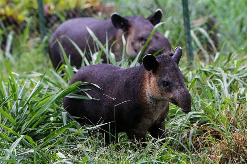 C:\Users\Darya30\Desktop\tapir-foto.jpg