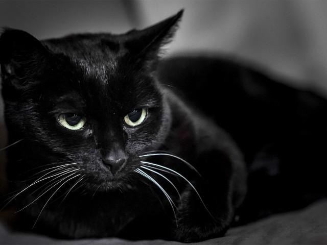 Черная кошка [происхождение, породы, суеверия]