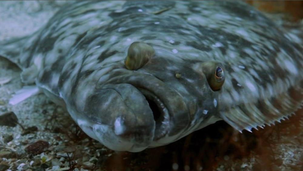 Рыба Палтус: Вы хоть догадываетесь, кого едите?
