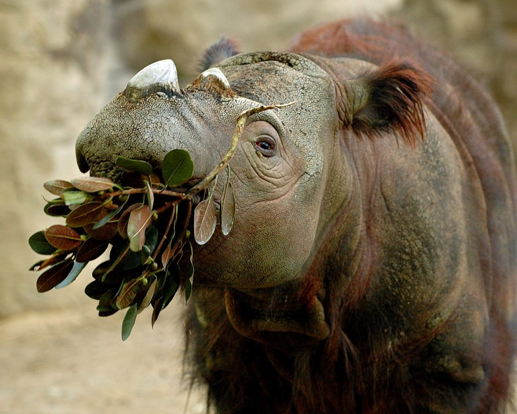Суматранский носорог - Рог от головной боли