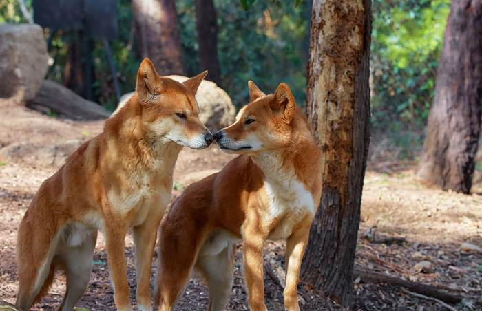 http://animaljaws.com/wp-content/uploads/2017/01/dve-sobaki-dingo.jpg