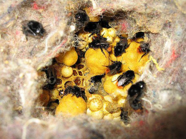 Шмель: опасный двойник пчелы