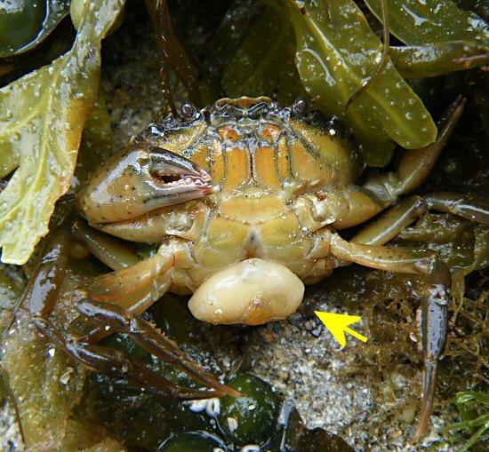 Саккулина: Отвратительный паразит крабов
