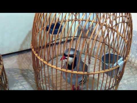 Кеклик: Птица, которая кекает