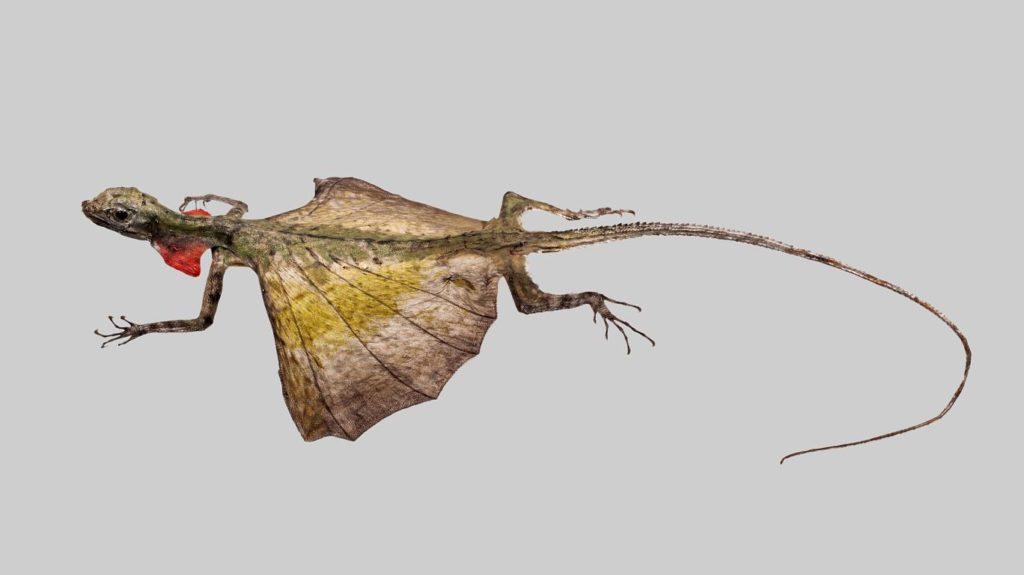 Миниатюрный дракон, или летучая ящерица из Азии