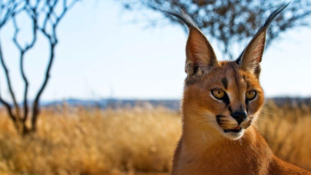 Прекрасная кошка Каракал - питомец для смелых
